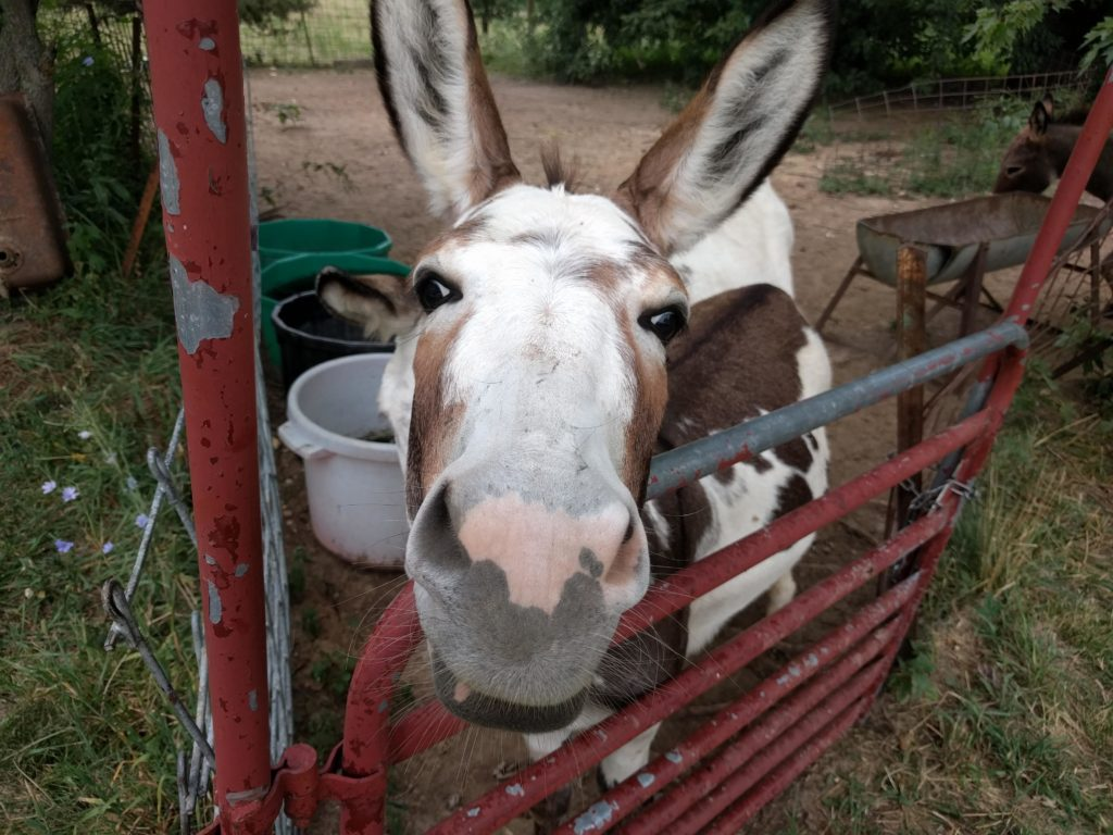 A donkey looking up with big eyes and ears
