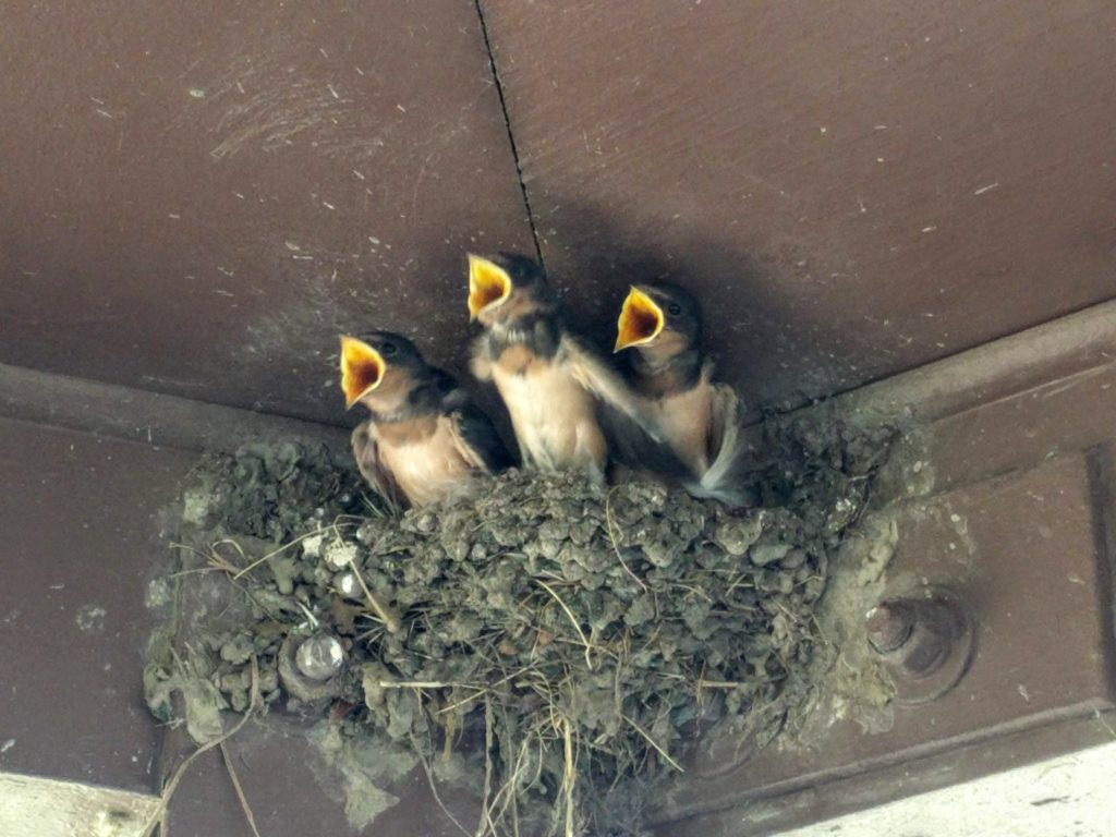 3 swallow chicks in a nest with the beaks open wide waiting for their meal