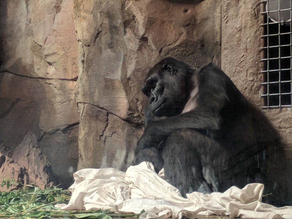 Gorilla with a sad look on his face hunched in a corner with a large white blanket at its feet.