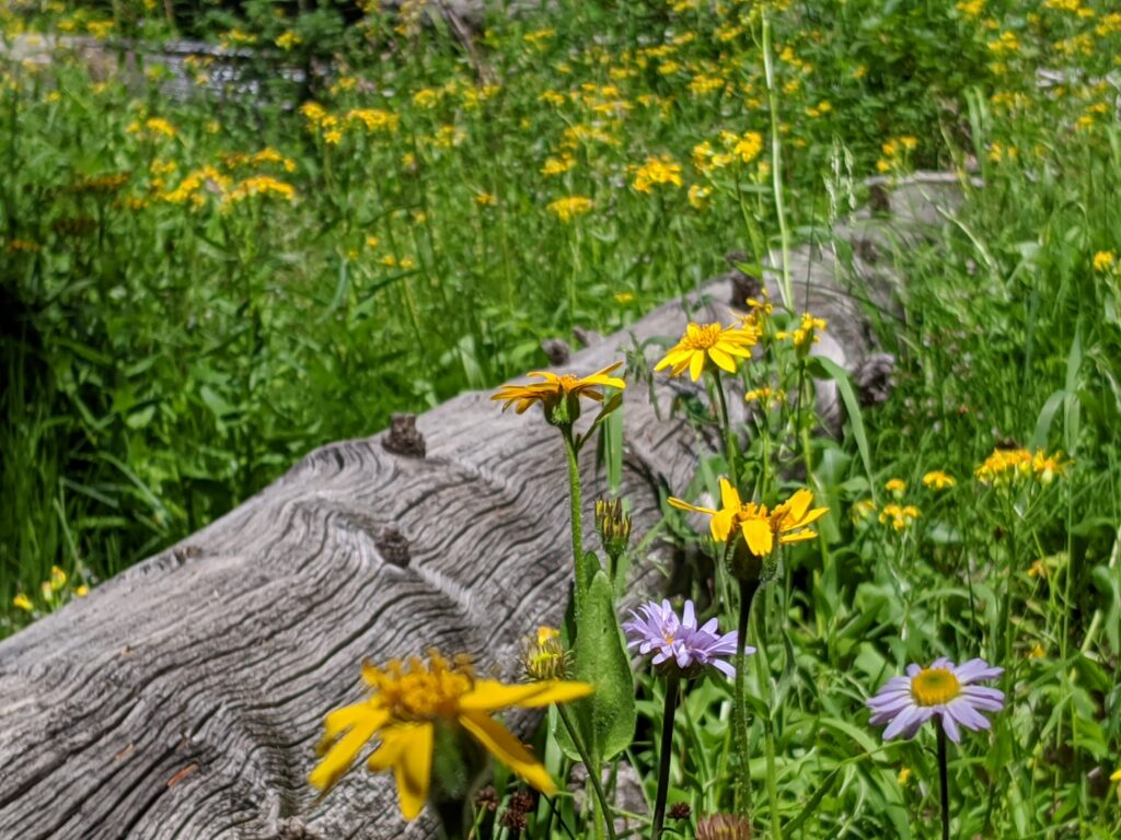 A weathered log surrounded by yellow and purple wildflowers.